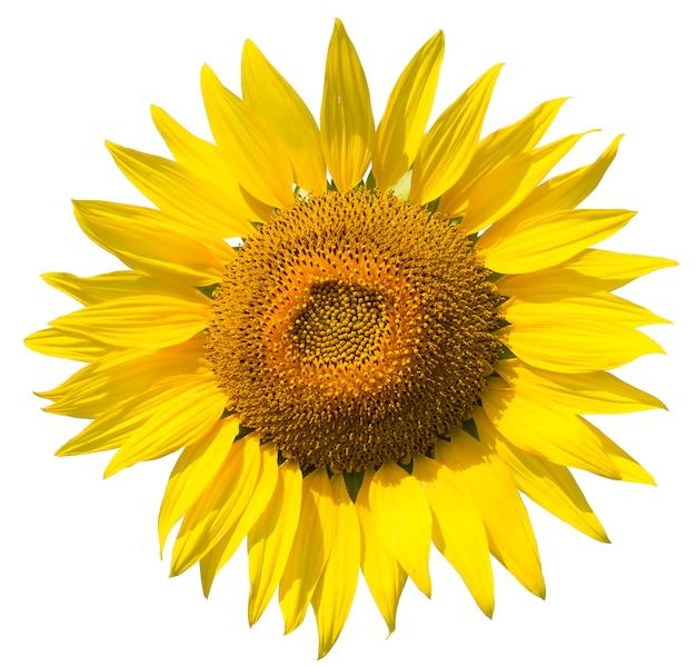 Piękny słonecznik na białym tle