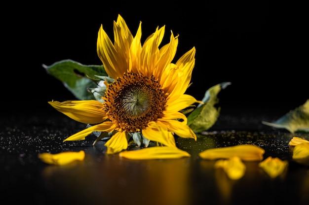 Piękny słonecznik na czarnej powierzchni.
