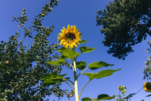 Piękny słonecznik na polu