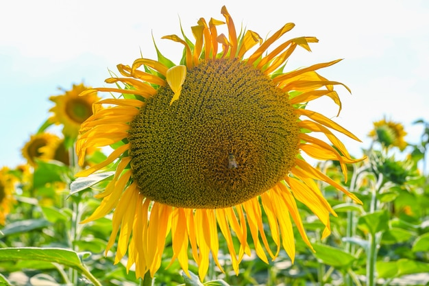 Piękny słonecznik w polu słoneczników na lato z błękitnym niebem w europie.