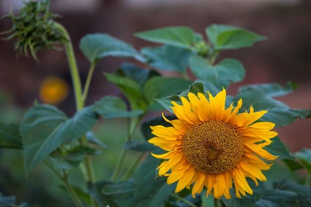 Piękny słonecznik.