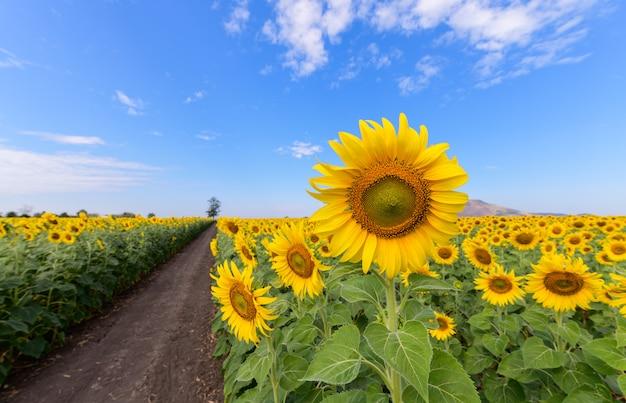Piękny słonecznika pole na lecie z niebieskim niebem