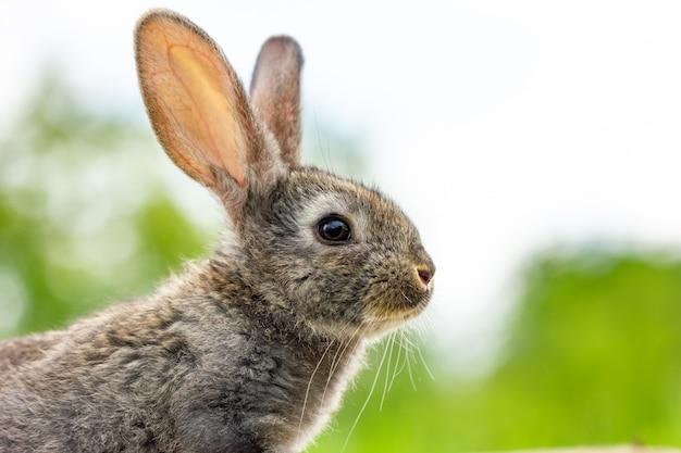 Piękny śmieszny szary królik na naturalnej zieleni