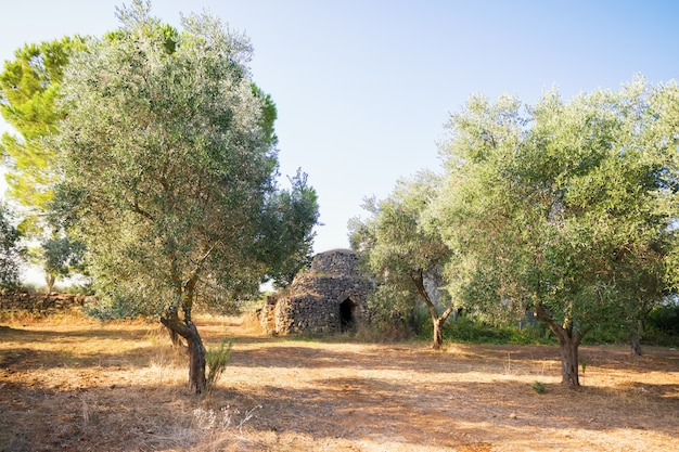 Piękny stożkowaty dach tradycyjny kamienny trullo dom w oliwnym gaju, puglia, włochy