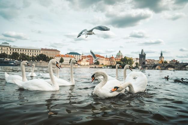 Piękny strzał biali łabędź i seagulls w jeziorze w praga, republika czech