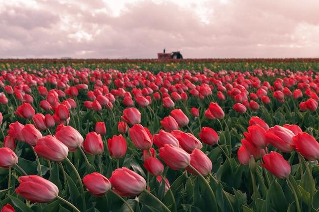 Piękny strzał czerwoni tulipany kwitnie w wielkim rolniczym polu