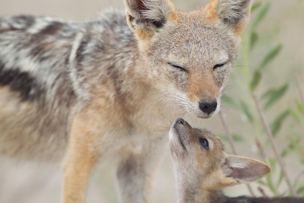 Piękny strzał lisica z czarnymi plecami i jej dziecko bawiące się na ziemi pokryte piaskiem