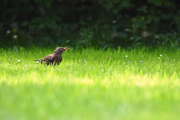 Piękny strzał ptak w naturze. kos w trawie chwyta insekty. (turdus merula)