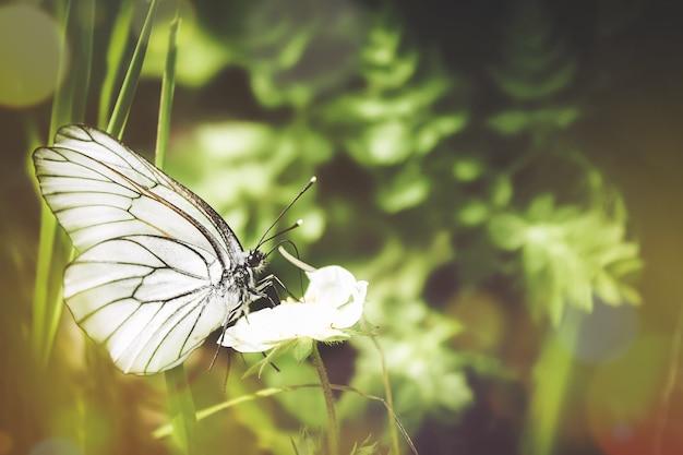 Piękny strzał z czarnymi żyłkami białego motyla na zielonej roślinie w lesie. letni krajobraz naturalny. nieostrość.
