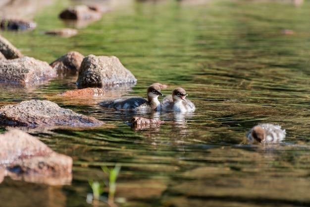 Piękny strzał z trzech kaczek w zielonej brudnej wodzie z kilkoma kamieniami po lewej stronie