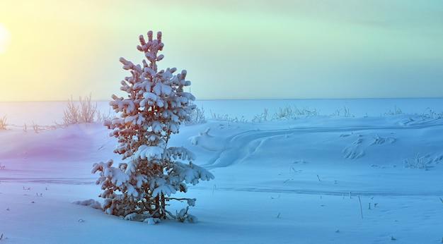 Piękny świąteczny krajobraz, zimowy las sosnowy nadmorskie wydmy