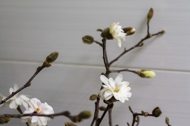 Piękny, świeży biały kwiat magnolii w pełnym rozkwicie, selektywna ostrość
