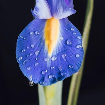 Piękny świeży błękitny kwiatu płatek w rosie