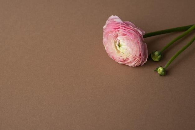 Piękny świeży kwitnący pojedynczy łosoś kolorowy kwiat jaskier na brązowo