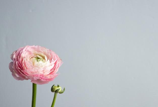 Piękny świeży kwitnący pojedynczy łosoś kolorowy kwiat jaskier na greybackground z widokiem z boku copyspace