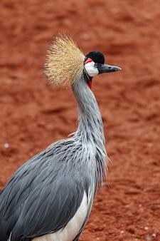 Piękny Szary Koronowany żuraw Pospolity (grus Grus) Premium Zdjęcia
