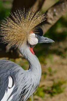 Piękny szary koronowany żuraw pospolity (grus grus)