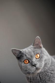 Piękny szary kot brytyjski z żółtymi oczami