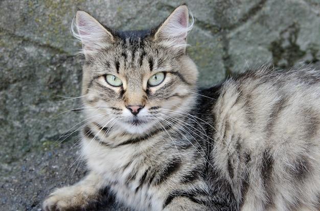 Piękny szary kot leży na asfalcie z bliska