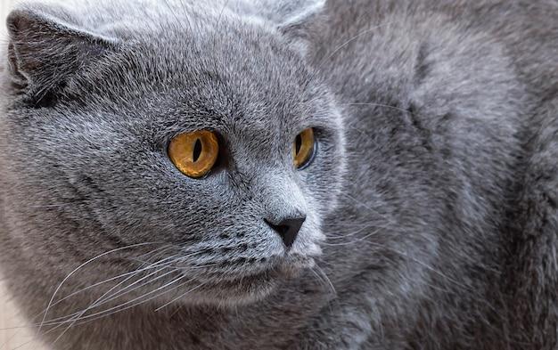Piękny szary kot patrząc z boku.