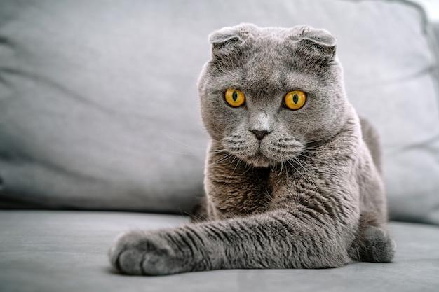 Piękny szary kot szkocki fałd siedzący na kanapie