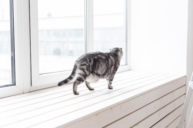 Piękny szary kot szkocki z uszami kręci się ostrożnie po nowym białym parapecie podczas nauki