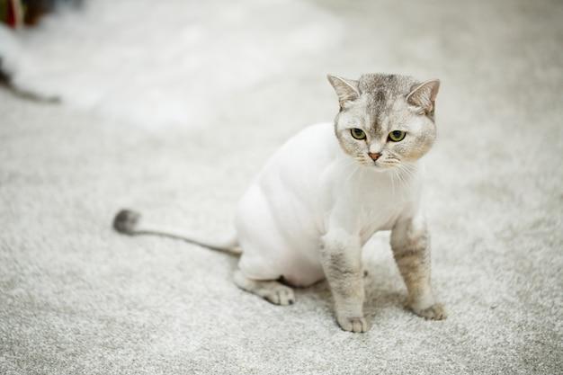 Piękny szary kot szkocki zwisłouchy. strzyżenie kota z ogoloną sierścią na ciele, strzyżenie zwierzaka