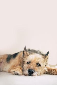 Piękny, szczęśliwy, kędzierzawy pies rodzinny leży na podwórku i jest zrelaksowany. przyjęty ze schroniska