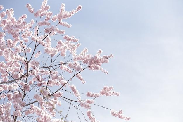 Piękny szeroki strzał różowych kwiatów sakury lub wiśniowych kwiatów pod czystym niebem
