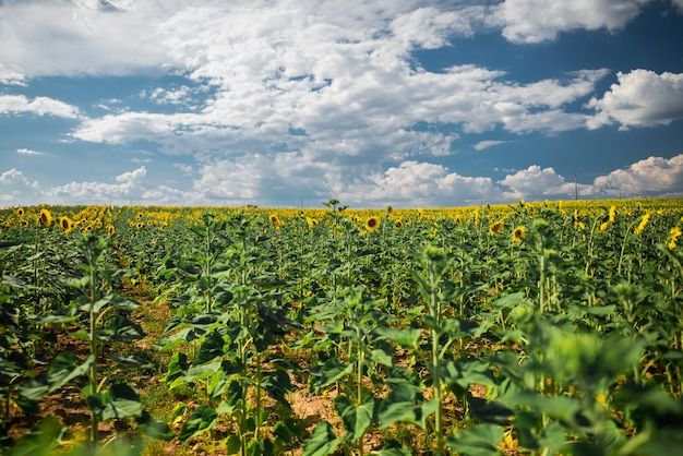 Piękny szeroki strzał słonecznika pole pod niebem z białymi bawełnianymi chmurami