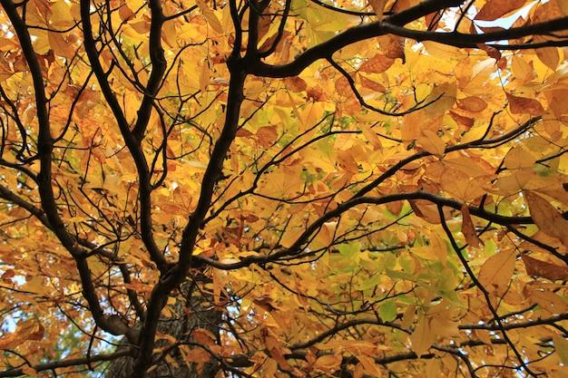 Piękny treetop z żółtymi liśćmi jesiennymi oglądanymi z dołu