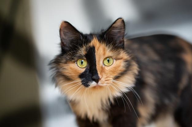 Piękny trójkolorowy pomarańczowo-czarno-biały kot stojący na ścianie z cieniami. ulubione zwierzaki.
