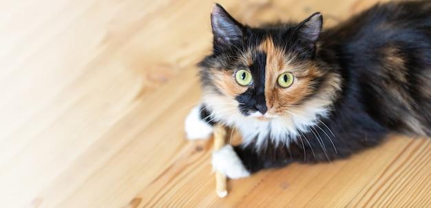 Piękny trójkolorowy pomarańczowo-czarno-biały młody kot leży na drewnianej podłodze. ulubione zwierzaki. widok z góry. skopiuj miejsce na tekst.