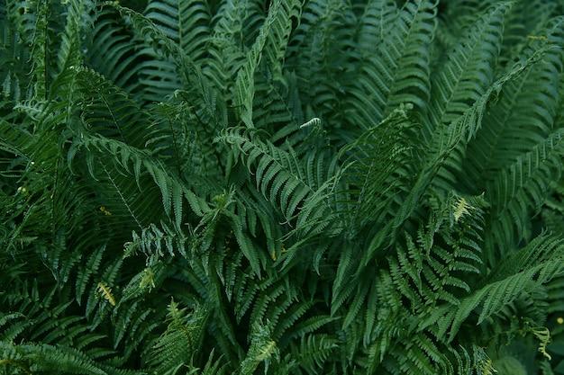 Piękny tropikalny paprociowy tło z młodymi zielonymi paprociowymi liśćmi. ciemne i nastrojowe uczucie. selektywne ustawianie ostrości. koncepcja projektu.