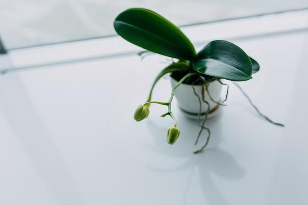 Piękny tropikalny storczykowy kwiat z pączkami w białym garnku na stole. miejsce na tekst