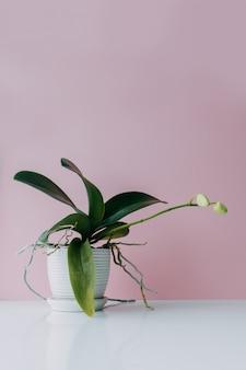 Piękny tropikalny storczykowy kwiat z pączkami w białym garnku na stołowej pobliskiej kolor menchii ścianie. miejsce na tekst