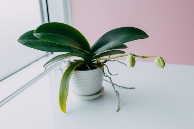 Piękny tropikalny storczykowy kwiat z pączkami w białym garnku na stołowej pobliskiej kolor menchii ścianie