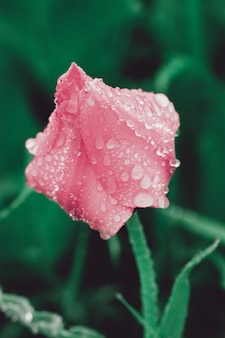 Piękny tulipan z porannej rosy kroplami.
