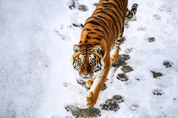 Piękny tygrys amurski na śniegu. tygrys w zimowym lesie