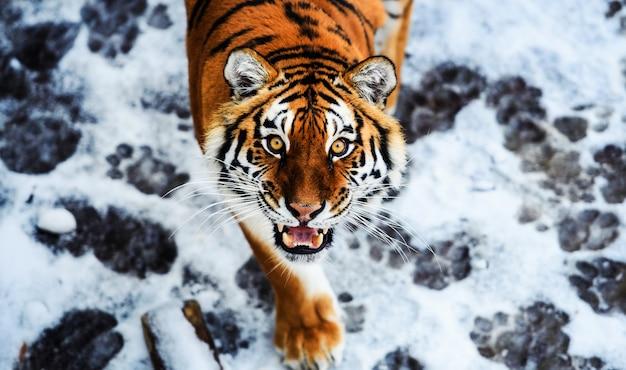 Piękny tygrys amurski na śniegu. tygrys zimą. scena dzikiej przyrody z niebezpiecznym zwierzęciem.
