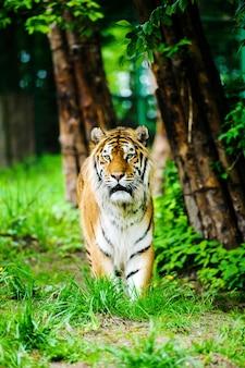 Piękny tygrys na zielonej trawie