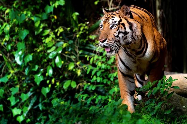 Piękny tygrys sumatrzański grasuje
