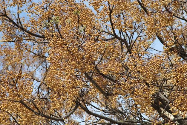 Piękny widok małych pomarańczowych owoc na dużym drzewie pod niebieskim niebem