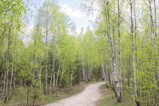 Piękny widok na brzozowy las w wiosenny dzień. zbliżenie.
