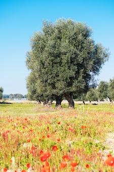 Piękny widok na drzewa oliwne wiosną w salento, w apulii, z kwitnącymi makami i jasnym niebieskim niebem. selektywne ustawianie ostrości