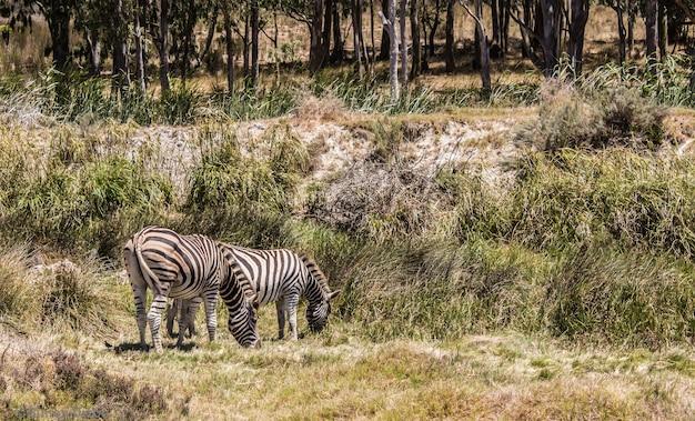 Piękny widok na dwie zebry pasące się na pastwisku