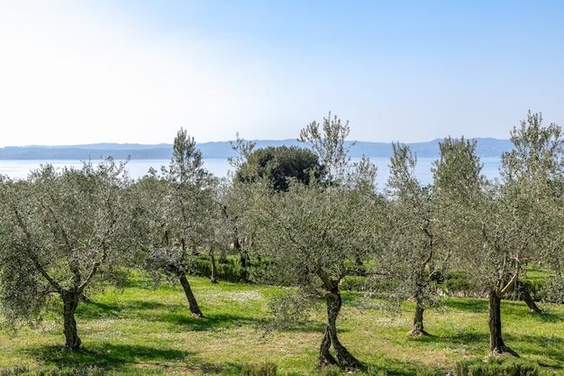 Piękny widok na gaj oliwny nad brzegiem jeziora garda we włoszech
