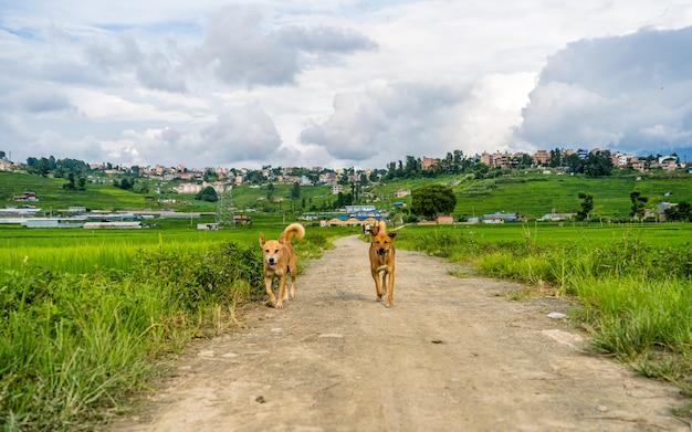 Piękny widok na krajobraz pola uprawnego summer paddy i spaceru psa khojana lalitpur nepal