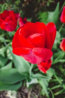 Piękny widok na kwiaty czerwonych tulipanów w ogrodzie
