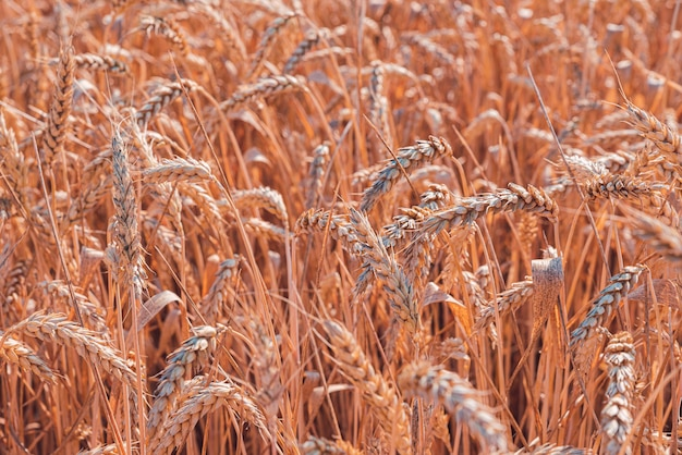 Piękny widok na pole pszenicy
